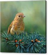 Young Robin On Pine Tree Canvas Print
