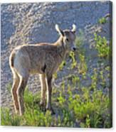 Young Rocky Mountain Bighorn Sheep Canvas Print