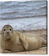 Young Seal Pup On Beach - Horsey, Norfolk, Uk Canvas Print