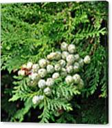 Young Seed Cones Of Lawson Cypress Canvas Print