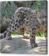 Young Snow Leopard Canvas Print