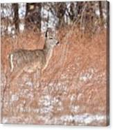 Young White-tailed Deer In The Snow Canvas Print