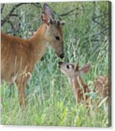 Young White-tailed Deer Say Hello Canvas Print