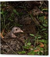 Young Wild Turkeys Canvas Print