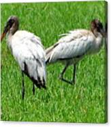 Young Wood Storks 2 Canvas Print