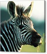 Young Zebra Canvas Print