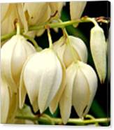 Yucca Flower Canvas Print