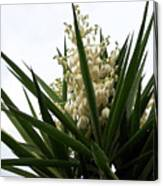 Yucca Flowers Canvas Print