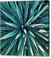 Yucca Plant Detail Canvas Print