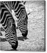 Zebra Beauty Canvas Print