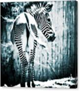 Zebra Blues  Canvas Print