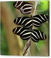Zebra Butterflies Hanging On Canvas Print