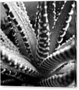 Zebra Cactus Bw Canvas Print