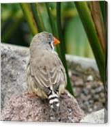 Zebra Finch Canvas Print