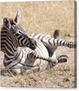 Zebra Foal Rolls In Dust On Savannah Canvas Print