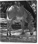Zebra In Black And White Canvas Print