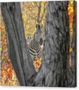 Zebra In Mopane Textures Canvas Print