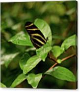 Zebra Longwing Butterfly Canvas Print