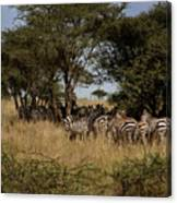Zebra Seeking Shade Canvas Print