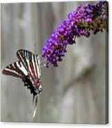 Zebra Swallowtail Butterfly 2 Canvas Print