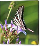 Zebra Swallowtail Butterfly On Phlox Canvas Print