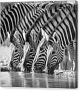 Zebras Drinking Canvas Print