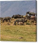 Zebras In The Ngorongoro Crater, Tanzania Canvas Print