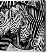Zebras Triplets Canvas Print