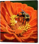 Zinnea With Honeybee Canvas Print