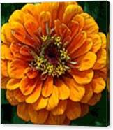 Zinnia At Frankenmuth Canvas Print