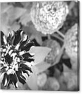 Zinnia In Black And White  Canvas Print