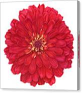 Zinnia In Red Canvas Print