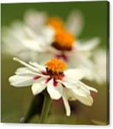 Zinnia Named Zahara Starlight Rose Canvas Print