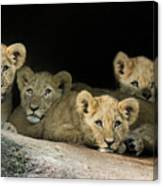 Four Cubs Canvas Print