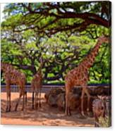 Zoo Giraffes And Zebras Canvas Print