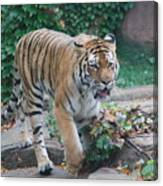 Chicago Zoo Tiger Canvas Print