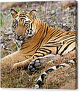 An Adult Tiger In Bandhavgarh National Canvas Print