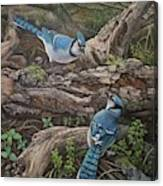 Blue Jay Stand Off Canvas Print
