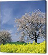 Cherry Tree In Blossom Canvas Print