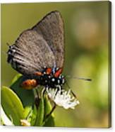 Great Purple Hairstreak Canvas Print