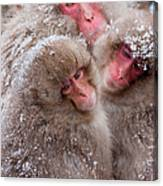 Japanese Macaques, Japanese Alps Canvas Print