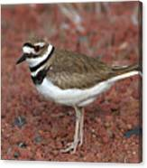 Killdeer Canvas Print