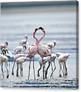 Lesser Flamingoes Phoeniconaias Minor Canvas Print