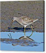 Long-billed Dowitcher Canvas Print