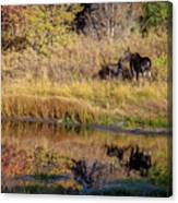 Moose At Green Pond Canvas Print