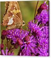Moth On Purple Flowers Canvas Print