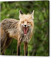 Red Fox Vulpes Vulpes In Prince Albert Canvas Print