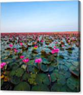 Sea Of Red Lotus , Marsh Red Lotus Canvas Print