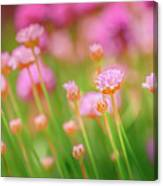 Sea Thrift  Canvas Print
