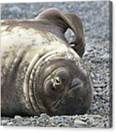 Southern Elephant Seal Weaner Pup Canvas Print